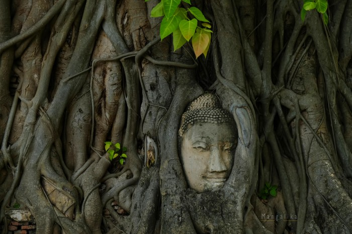Tree roots grew around Buddha head for about 250 years in Thailand It is assumed that the Buddha head was somehow abandoned after a war